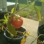 My tomato is ready