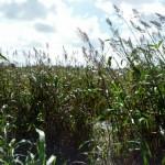 Bender Farm Corn Maze