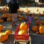 Pumpkin Patch no 1